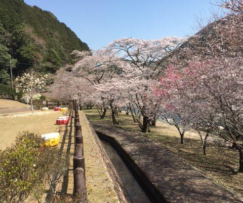 桜、見頃です✿